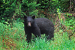 A young black bear feeding on lush spring grass