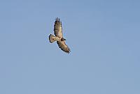 542400025 a wild swainsons hawk buteo swainsoni in fligt near bishop inyo county california
