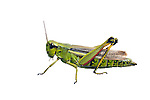 Large marsh grasshopper
