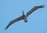 Brown pelican, Pelecanus occidentalis, flying over the Pacific coast at Mendocino, California