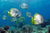 The longfin spadefish, Platax teira, can be found in groups like this or as individuals down to 150 feet.  Sipidan Island, Malaysia.