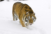 Siberian Tiger walking through the snow - CA