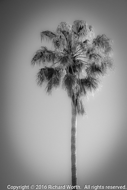 A simple palm tree rendered in photo software as infrared.