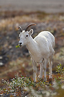 Dall sheep ewe, Atigun pass, Brooks range mountains, arctic, Alaska.