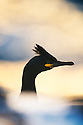 Common Shag (Phalacrocorax aristotelis), Hornøya, Finnmark, Norway