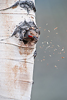 Northern Flicker making a nest