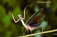 1M26-024z  Praying Mantis adult displaying to intruder - Tenodera aridifolia sinenesis