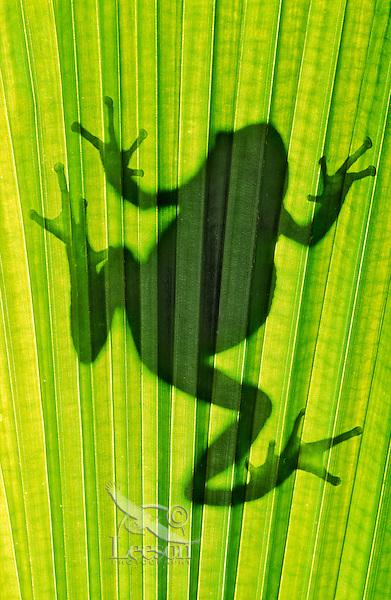 Pacific Tree Frog silhouette (Hyla regilla)..Southern British Columbia. Canada..Spring.