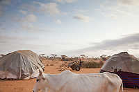A bone-thin cow passing temporary shelters at Dadaab refugee camp in northern Kenya.