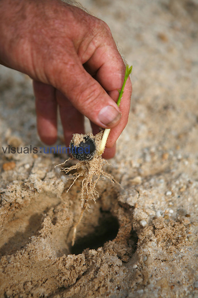 Hand planting a Soybean seedling.