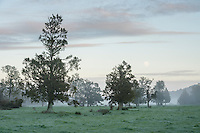 Full moon rising above Whataroa farmland and native Totara trees, West Coast, South Westland, New Zealand, NZ