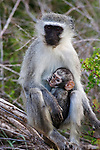 Vervet monkey, Cercopithecus aethiops, with baby, Kruger national park, South Africa