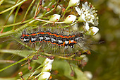 Yellow-tail Moth - Euproctis similis - caterpillar feeding on Pyracantha or Firethorn