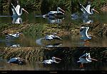 White Pelican Takeoff, American White Pelican, Sepulveda Wildlife Refuge, Southern California