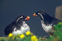 506790356 a wild pair of parakeet auklets cyclorrhynchus putittacula interact with other amid yellow wildflowers on saint george island in the pribilofs in the bearing sea off the southwest coast of alaska