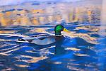Mallard Drake on deep blue water with reflections
