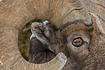 Bighorn sheep, Yellowstone National Park, Wyoming, USA