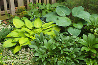 Hosta, Helleborus x nigercors, Ajuga reptans, Pieris, picket fence
