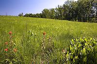 Prairie dropseed, Sporobolus heterolepis native grass meadow glade landscape, Shaw Nature Preserve Missouri Botanic Garden