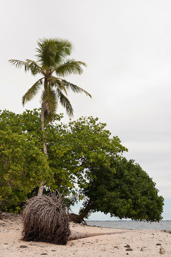 In low-lying coastal areas rising tides often undercut the shallow root system of coconut palms.