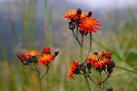 Orange hawkweed (Hieracium aurantiacum), Bieszczady National Park, Poland