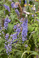 Veronica Atomic Sky Ray, Blue flowers speedwell