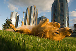 Golden Retriever rolling around on green grass
