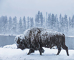 A bison bull, covered with fresh snow walks in the snow, in Yellowstone National Park.