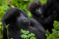 A juvenile gorilla and an infant are surrounded by the lush green vegetation Rwanda's Virunga Mountains.