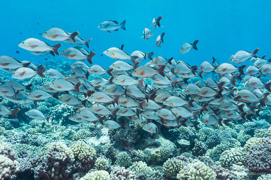 Kauehi Atoll, Tuamotu Archipelago, French Polynesia; a school of humpback snapper fish swimming over the coral reef