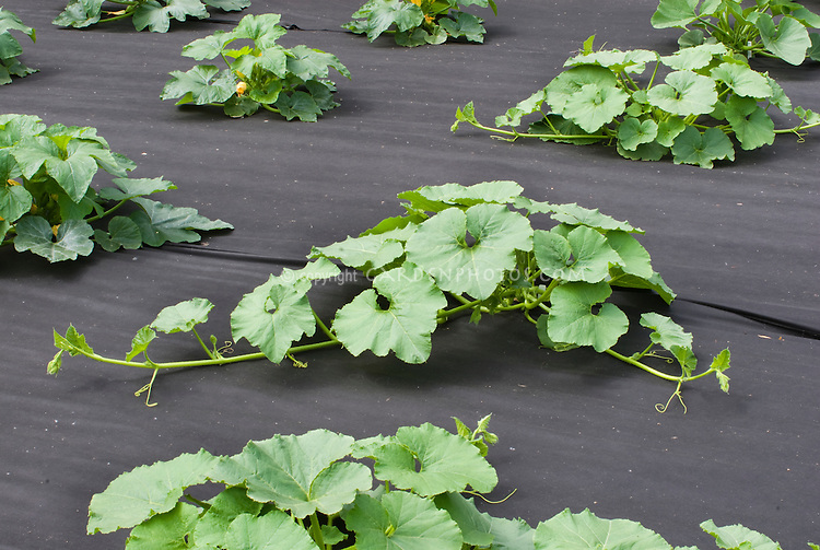 Courgette Zucchini Squash Plants Growing In Vegetable Garden With Black Landscape Fabric ...