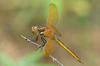 389120003 a wild female golden-winged skimmer dragonfly libellula aurepennis perched on a small twig san jacinto national forest san jacinto county texas
