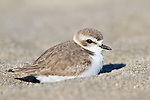 A snowy plover just coming into breeding plumage rests in the sand