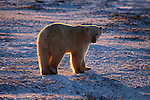 Polar bear backlit by the setting sun