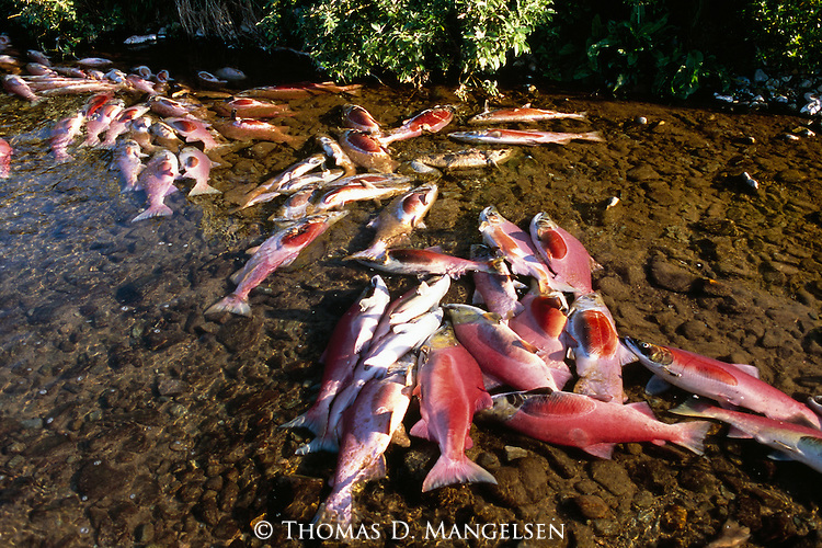 Dead sockeye salmon in Funnel Creek on the Alaska Peninsula. The extremely shallow and unseasonably warm waters during the summer drought of 2003 inhibit many of the salmon from completing their long journey.