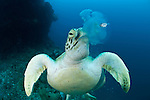 Green turtle feeding on jellyfish. Juvenile mackerel still hides beside the jellyfish about to lose its home.