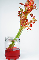 CAPILLARY ACTION THRU CELERY STALK<br /> Fluid absorption is evident in leaves of celery<br /> Surface tension causes the rise of water in a narrow tube. The water is pulled up until the surface tension force along the tube balances the weight of the water in the tube.