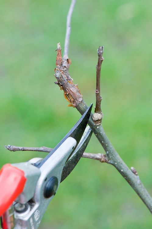 Cutting off a shoot infected with canker from the stem of a young apple tree.