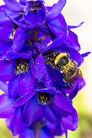 Bumblebee gathering nectar for pollination from Penstemmon Flower in UK