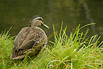 Grey Duck (Anas superciliosa), New Zealand