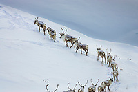 Caribou migrate in an arced line through the snow covered mountains of the Brooks range, Arctic, Alaska