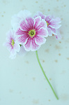 Pink and white flowers on single stem of Pelargonium or Geranium lying on antique paper