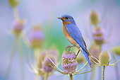 Male Eastern Bluebird (Sialia sialis) perched on a Teasel flower, Eastern USA.