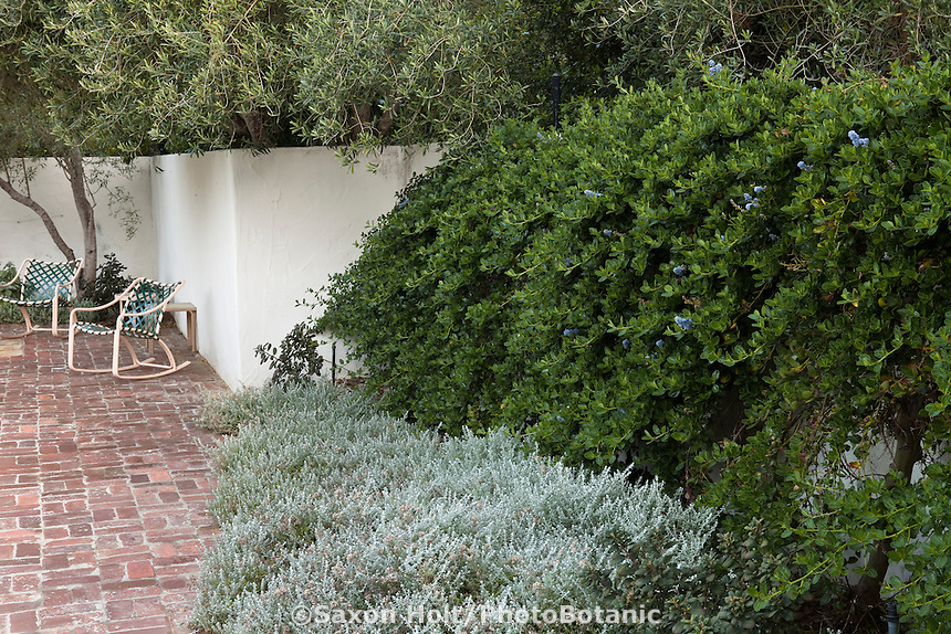 California lilac (Ceanothus) planted against stucco wall by brick patio with gray foliage Plecostachys serpyllifolia in drought tolerant California garden, Santa Barbara, spring