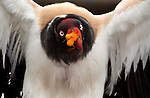 King Vulture, Sarcorhamphus papa, portrait showing colourful plumage and sink and wattles, wings open, Rainforest scavenger, captive. .South America....