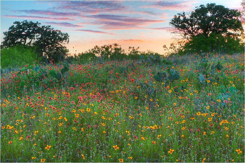 Texas Wildflowers of reds and golds have replaced the bluebonnets in the Texas Hill Country. These firewheels and greenthread are scattered across many fields, with cactus in their midst only a few weeks away from blooming themselves. This Texas wildflower image was captured near Cypress Mill along 962 as the sun was setting in the distance.
