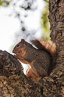 An eastern fox squirrel in the crook of a tree at a neighborhood park.