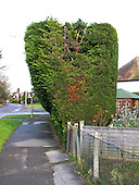 Huge leylandii garden hedge separating a private garden from the public footpath.  These conifer hedges or trees grow quickly to a great height and can cause serious disputes between neighbours.
