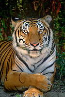 684089354 a wildlife rescue siberian tiger panthera tigris altaicia an endangered species poses among thick foliage at a wildlife rescue facility in southern california