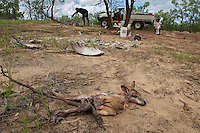 Aborigines generally hunt during the wet.  This guy killed everything he could find in the bush just outside Karumba AU.